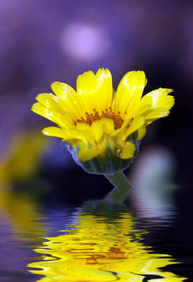 Gele Bloem die in Water wordt weerspiegeld stock foto's