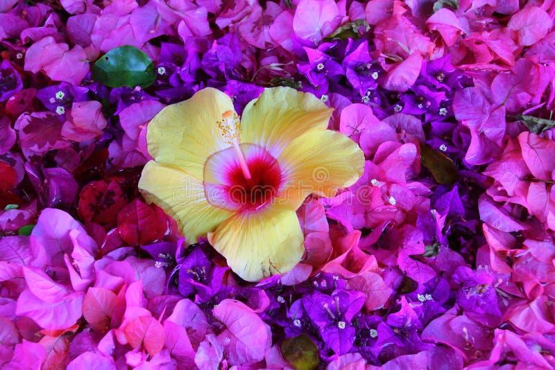 Gele bloem in een bed van purpere en roze bloei stock foto