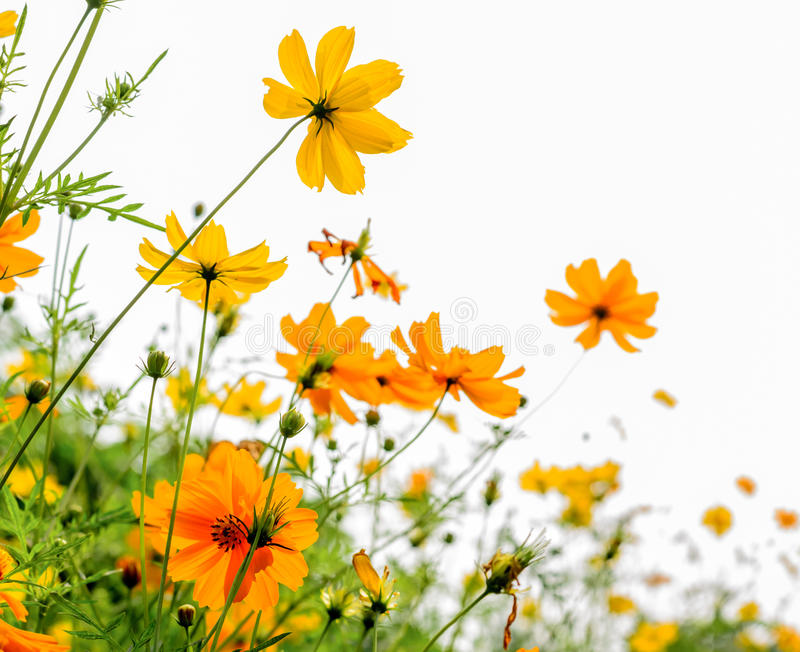 Gele bloem en witte achtergrond stock foto
