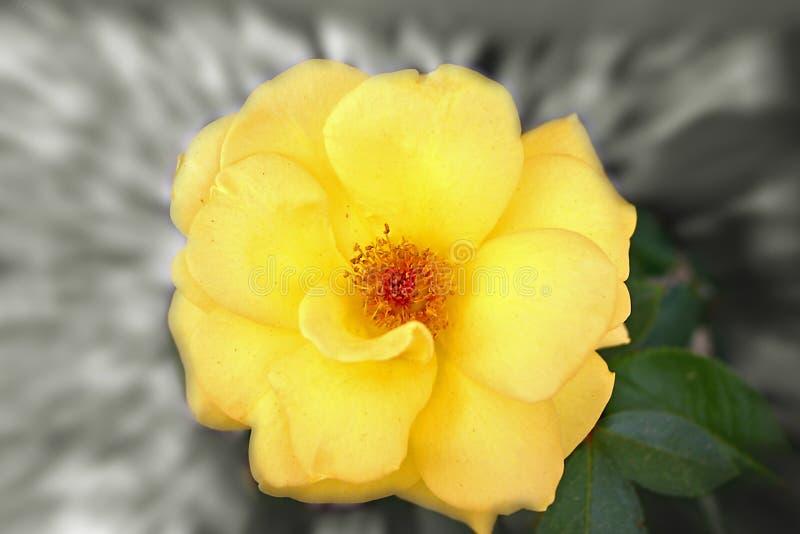 Gele bloem met gezoem stock foto's