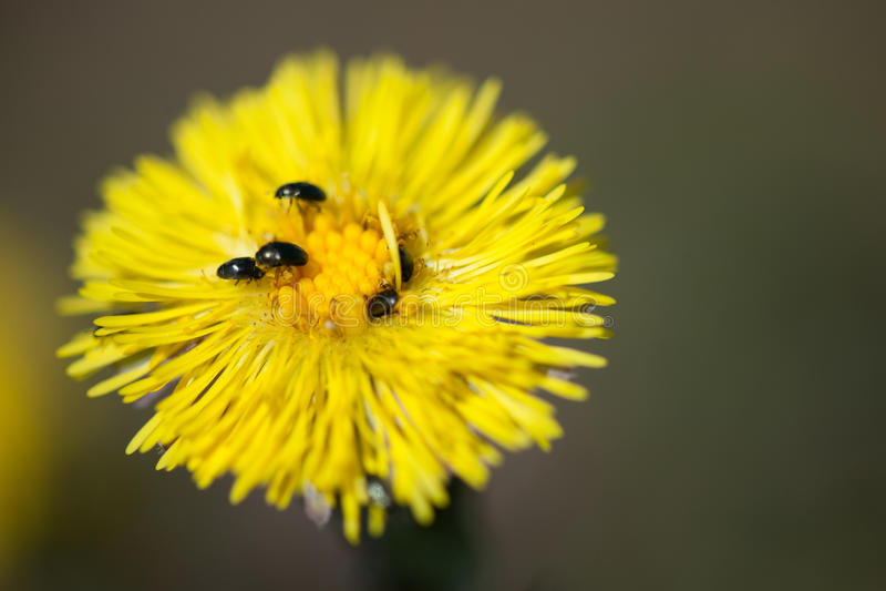 Gele bloem met kevers royalty-vrije stock afbeeldingen