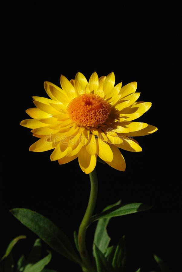 Gele bloem met oranje centrum royalty-vrije stock foto's