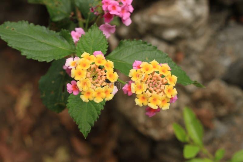 Gele bloem met roze royalty-vrije stock afbeelding