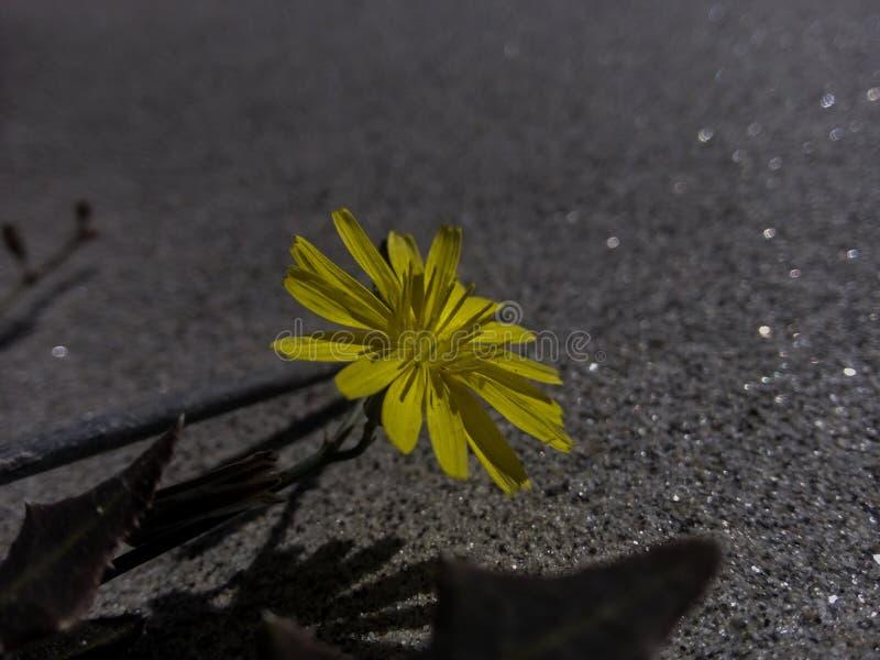 Gele bloem met wit Zand stock fotografie