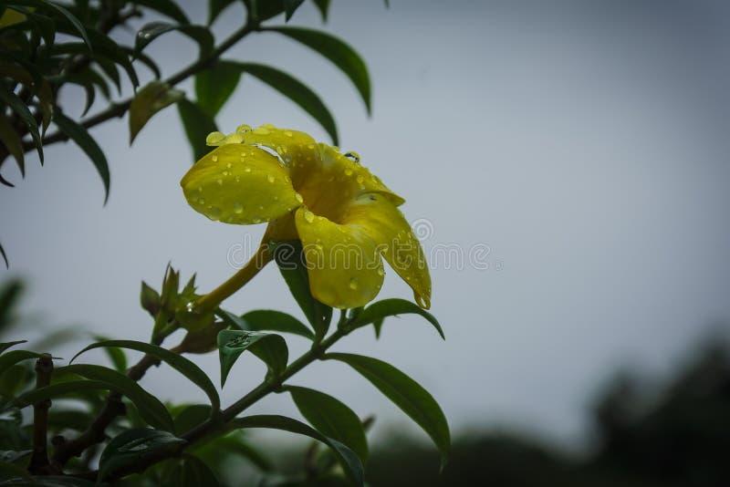 Gele bloem na de regen in Kochi-tuin royalty-vrije stock foto