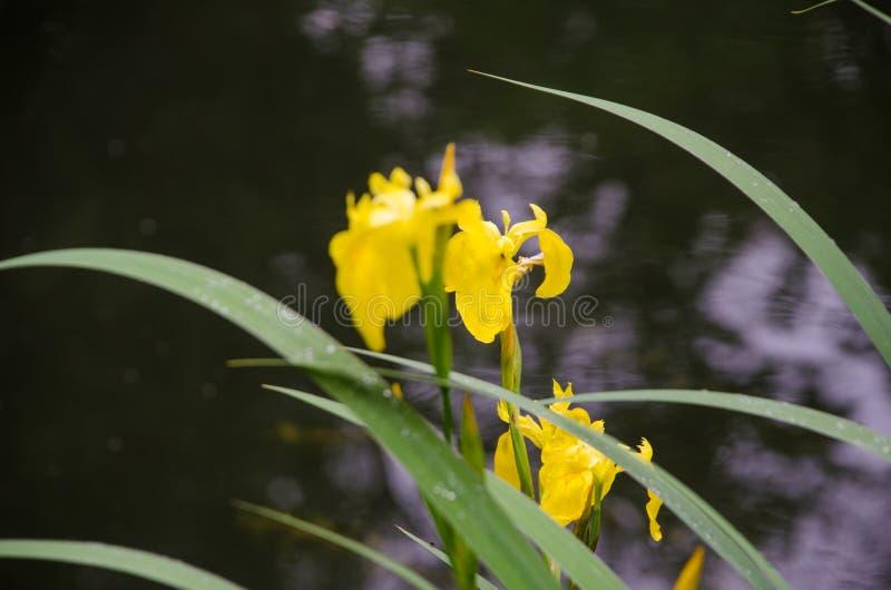 Gele bloem onder de groene bladeren tegen de achtergrond van de vijver stock afbeeldingen