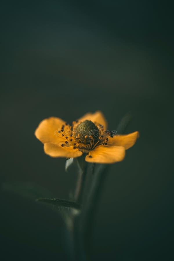 Gele bloem op donkergroene vage achtergrond Cinquefoil of potentilla Macro, close-up zijaanzicht Wilde installatie in de weide stock foto