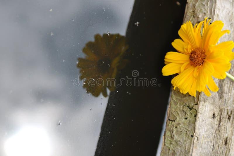 Gele bloem op een houten die brug, in zwart water wordt weerspiegeld stock afbeelding