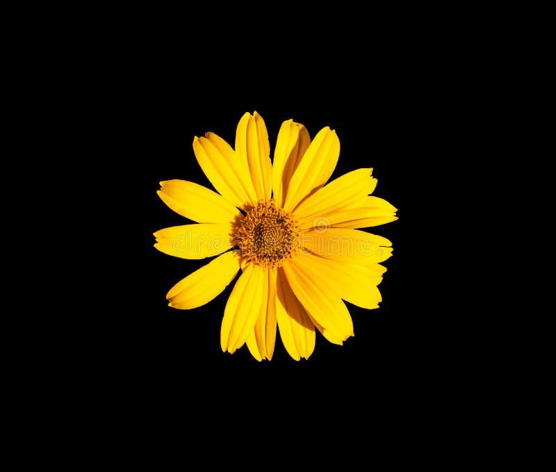 gele bloem op een zwarte achtergrond Een geïsoleerde bloem helder stock foto