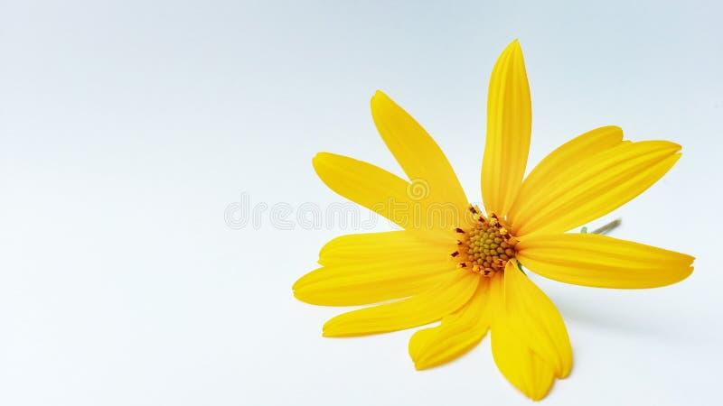 Gele bloem op witte achtergrond royalty-vrije stock fotografie