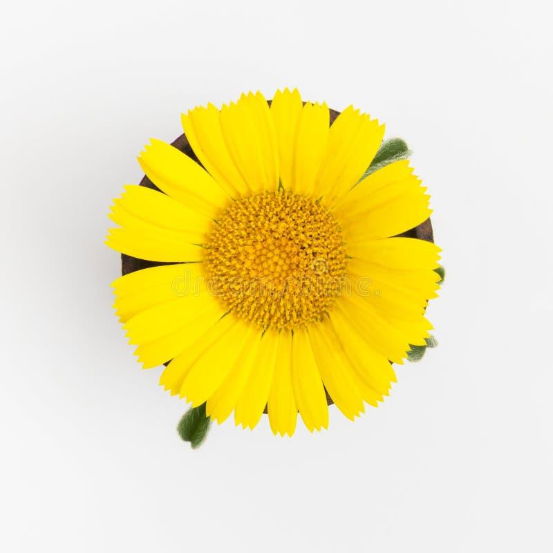 Gele bloem op witte achtergrond stock fotografie