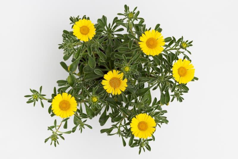 Gele bloem op witte achtergrond royalty-vrije stock foto's