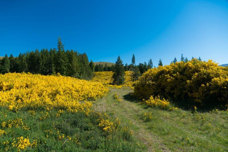 Gele bloem over hoge heuvelhelling, Nieuw Zeeland royalty-vrije stock foto