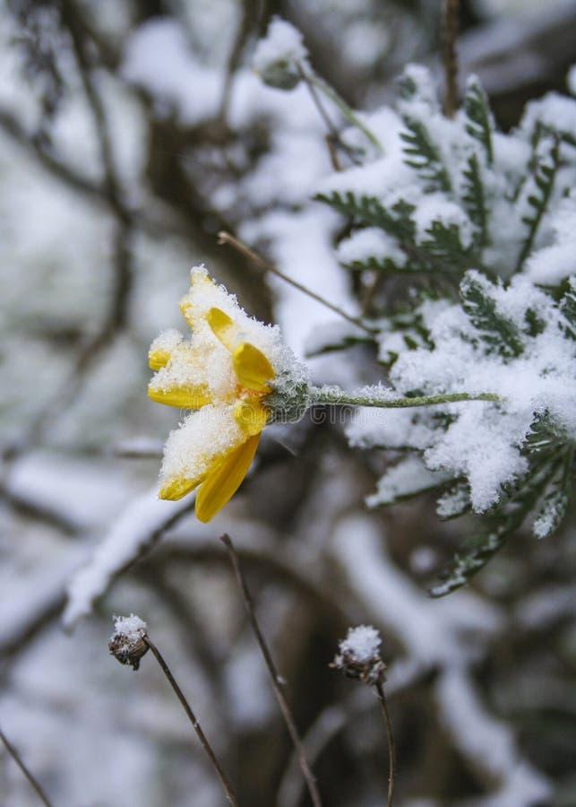 Gele bloem in sneeuw royalty-vrije stock foto's