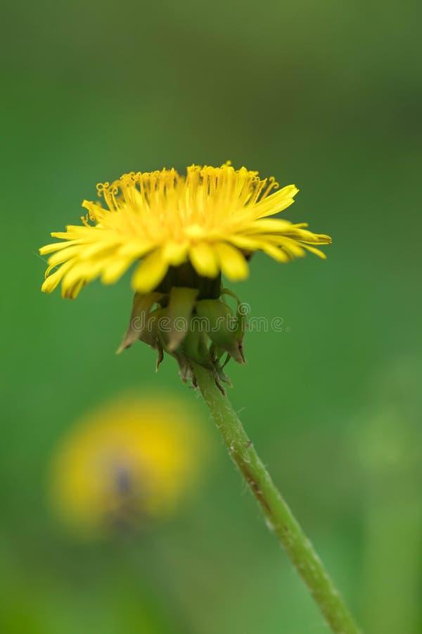 Gele bloem van een paardebloem Sluit omhoog royalty-vrije stock fotografie