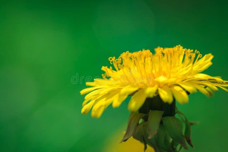 Gele bloem van een paardebloem Sluit omhoog royalty-vrije stock foto
