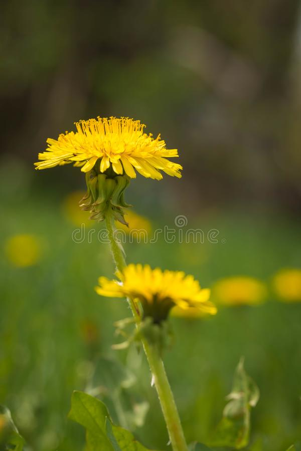 Gele bloem van een paardebloem Sluit omhoog stock foto's