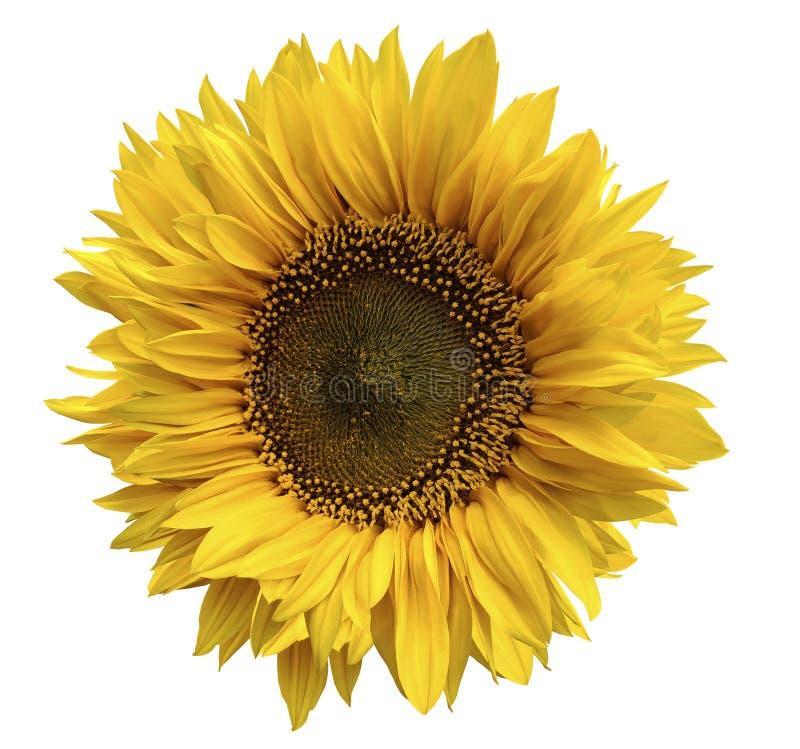 Gele bloem van een zonnebloem op een geïsoleerde witte achtergrond met het knippen van weg close-up Geen schaduwen royalty-vrije stock afbeeldingen