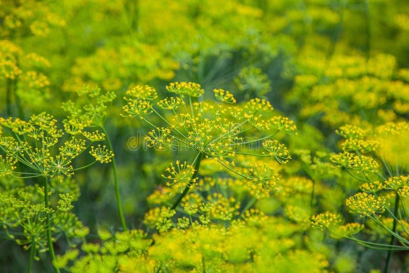 Gele bloem van groene dillevenkel in tuin als natuurlijke de zomerachtergrond stock foto