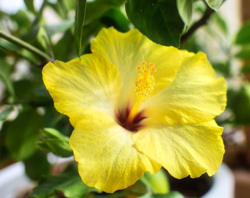 Gele bloem van hibiscusinstallatie stock afbeeldingen