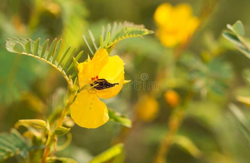 Gele bloem van Patrijserwt stock afbeeldingen
