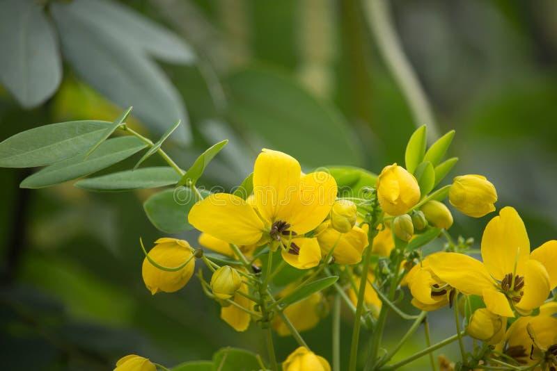 Gele Bloem van Thaise koperpeul of Cassod-boom stock foto's