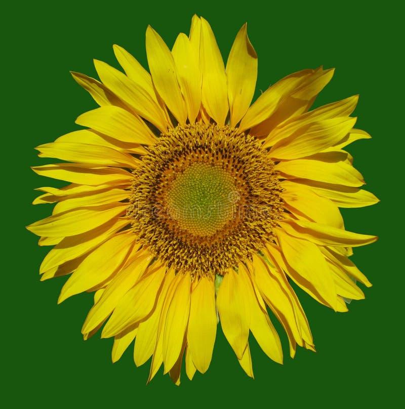 Gele bloem-zon op een groene achtergrond stock afbeeldingen