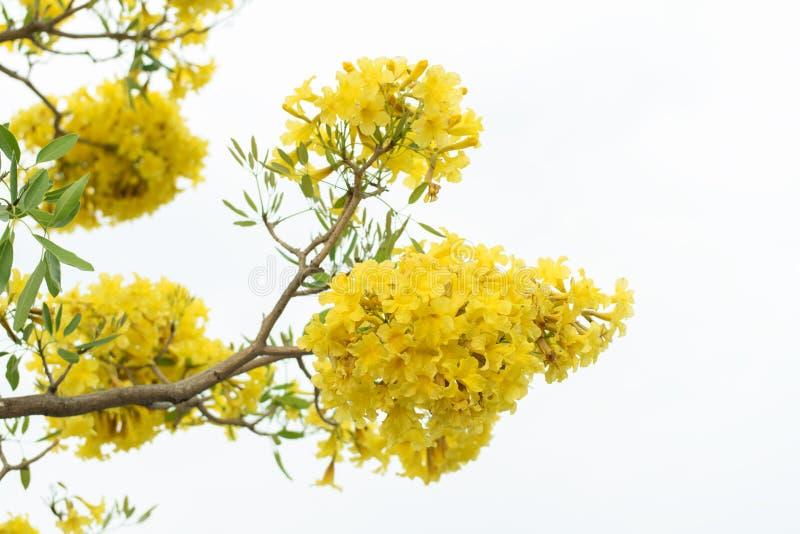 Gele bloemachtergrond van Gouden Trompetboom stock foto's