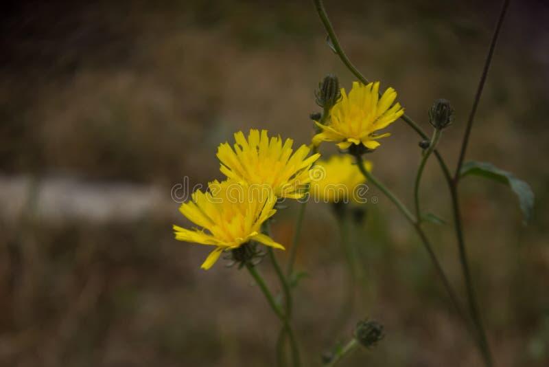 Gele bloemachtergronden royalty-vrije stock afbeelding