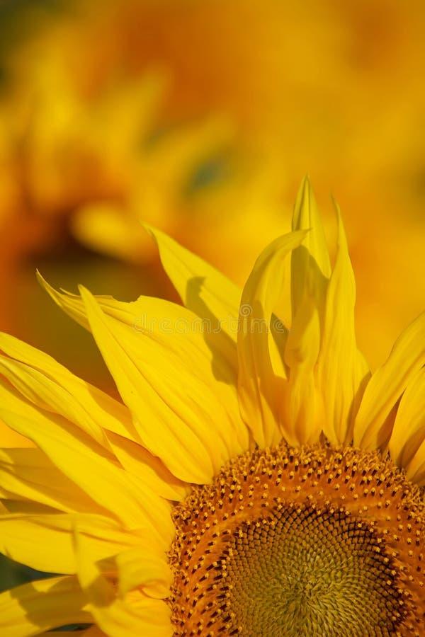 Gele bloemblaadjes royalty-vrije stock foto's