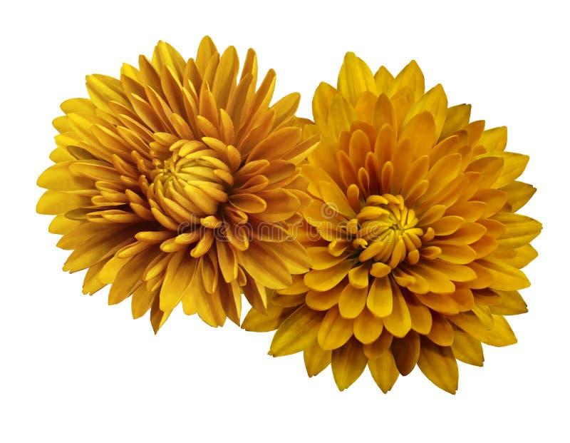 Gele bloemchrysanten; op een wit geïsoleerde achtergrond met het knippen van weg close-up Geen schaduwen Voor ontwerp stock afbeeldingen