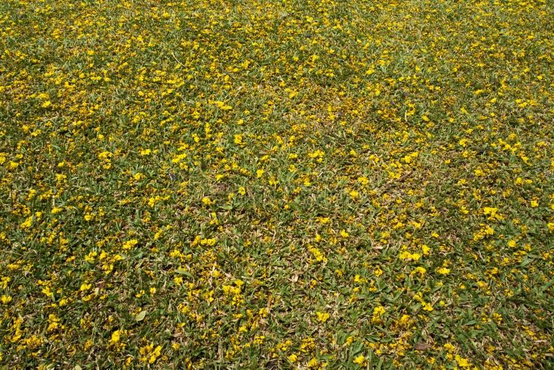 Gele bloemdaling op grasveld stock fotografie