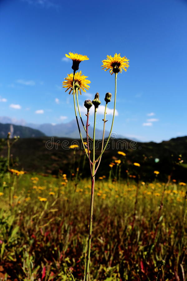 Gele bloemen blauwe hemel stock foto