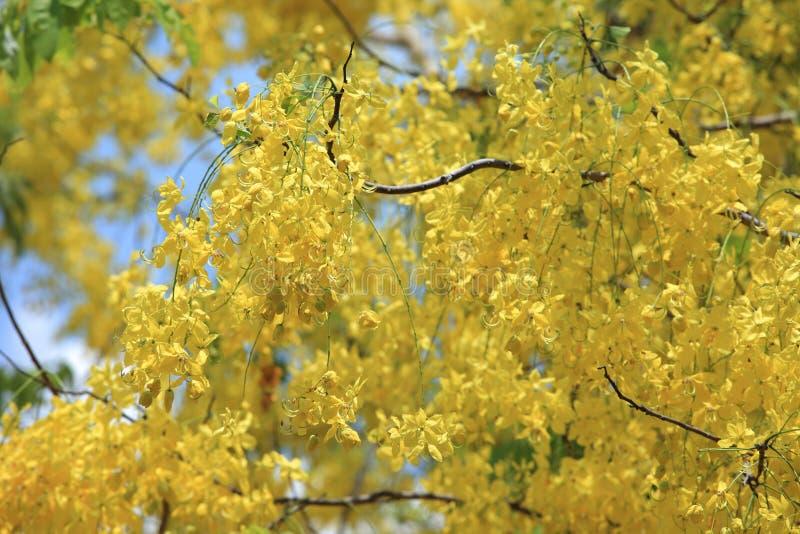 Gele bloemen in de bloeizomer Gouden doucheboom stock afbeelding