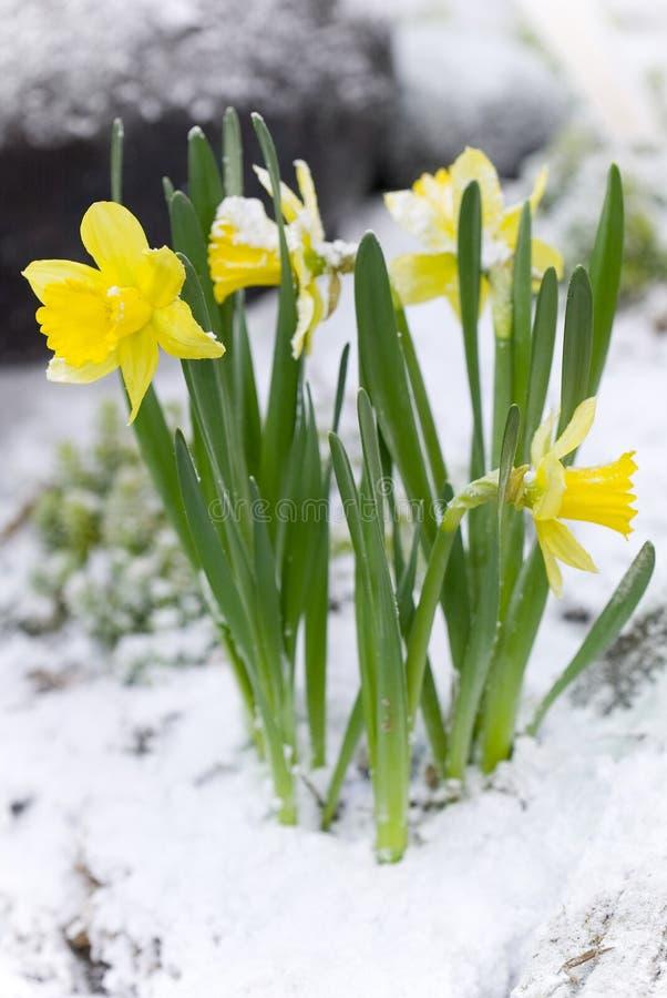 Gele bloemen in de sneeuw royalty-vrije stock foto's