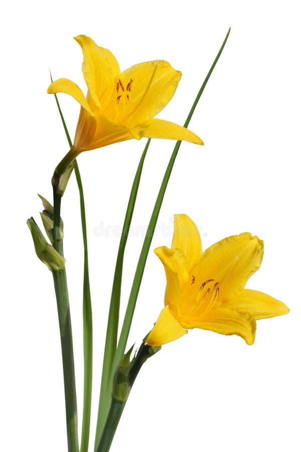 Gele bloemen Hemerocallis royalty-vrije stock foto