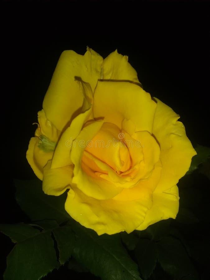 Gele bloemen het bloeien dichte omhoog zwarte daling stock foto