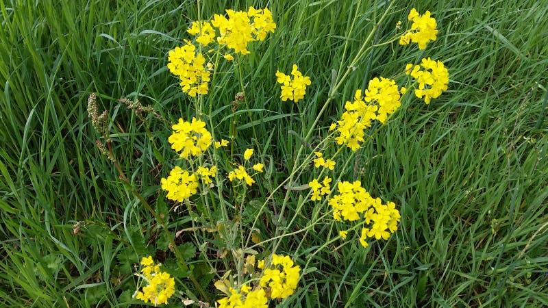 Gele bloemen in het groene gras stock foto