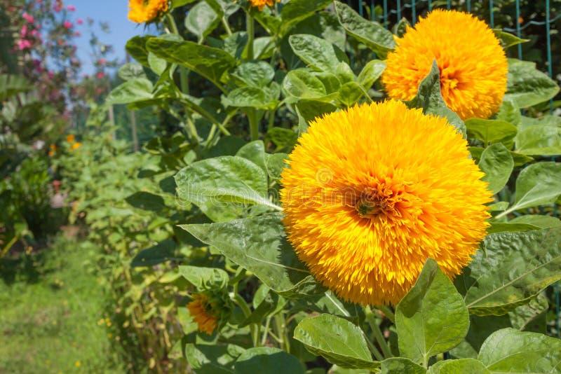 Gele bloemen met groene bladeren, close-up stock afbeelding