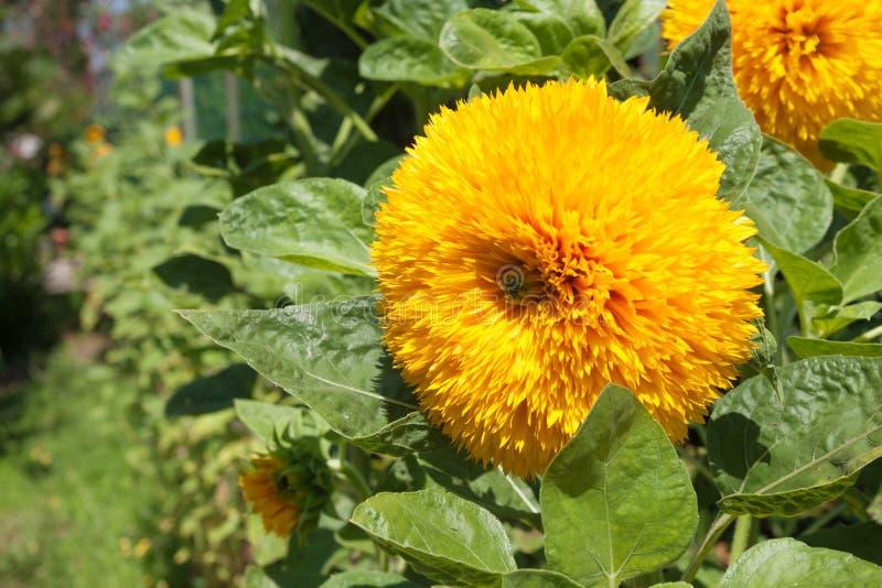 Gele bloemen met groene bladeren, close-up royalty-vrije stock foto