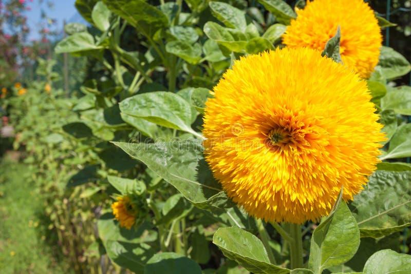 Gele bloemen met groene bladeren, close-up stock foto's