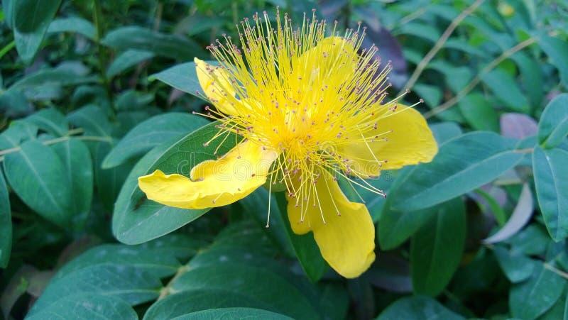 Gele bloemen met gele stamens stock afbeelding