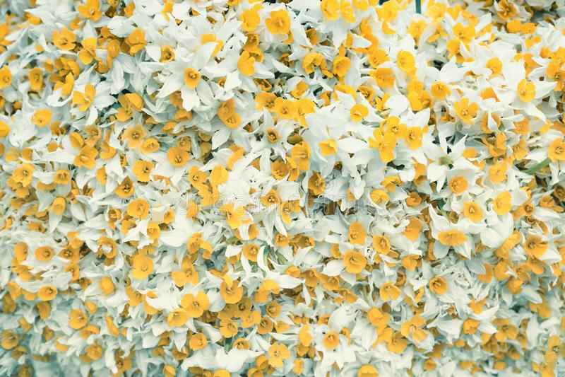 Gele bloemen met witte bladeren achtergrondafbeelding met gele en witte gekleurde bloemen royalty-vrije stock fotografie