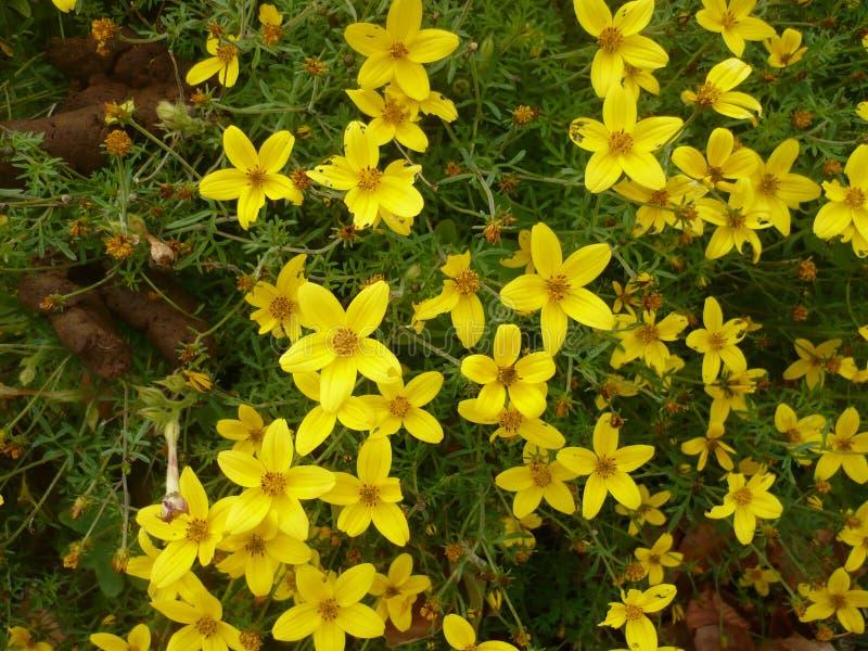 gele bloemen op een gebied van groen gras stock afbeelding