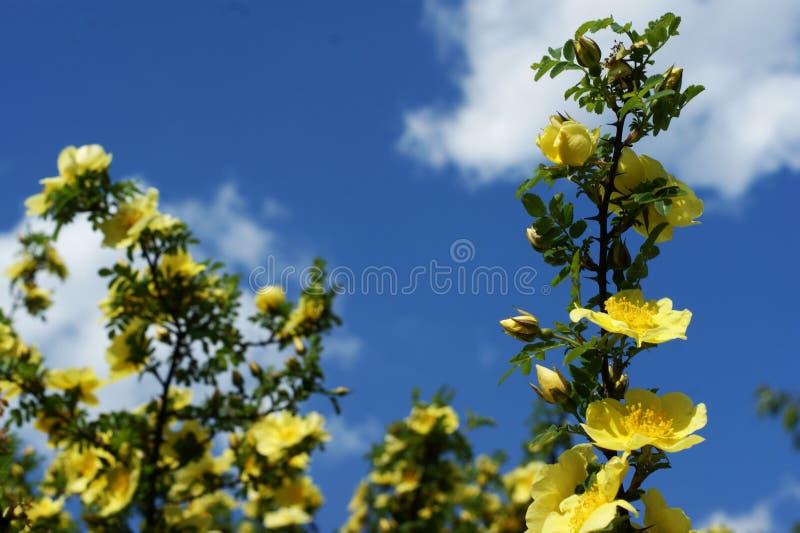 Gele bloemen op een tak tegen de blauwe hemel voor kaarten stock foto