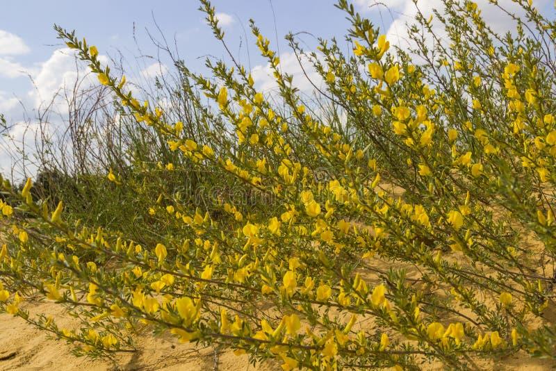 Gele bloemen op lange en dunne stammen op een zandduin, close-up stock afbeeldingen