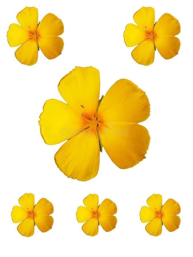Gele bloemen op witte achtergrond stock foto's