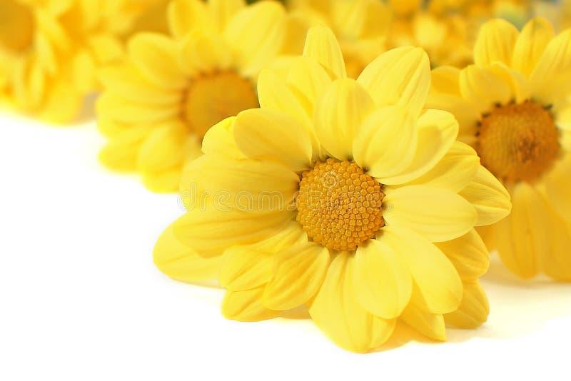 Gele bloemen over wit stock afbeeldingen