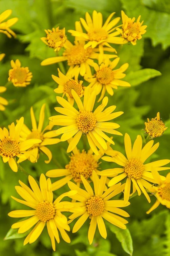 Gele bloemen (Senecio-subalpinus W D J Koch) royalty-vrije stock foto