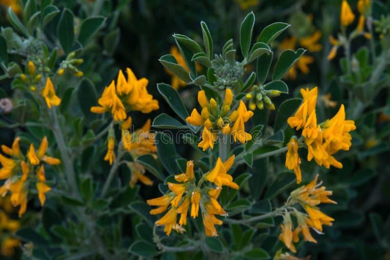 Gele bloemen van acacia op de achtergrond van groene bladeren in de vroege lente Close-up royalty-vrije stock afbeelding